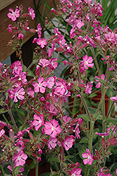 Rolly's Favorite Campion (Silene 'Rolly's Favorite') at Gardener's Supply Company