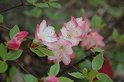 Apple Blossom Azalea (Rhododendron 'Apple Blossom') at Gardener's Supply Company