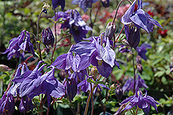 Alpine Columbine (Aquilegia alpina) at Gardener's Supply Company