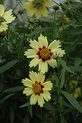Red Shift Tickseed (Coreopsis 'Red Shift') at Gardener's Supply Company