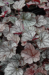 Silver Scrolls Coral Bells (Heuchera 'Silver Scrolls') at Gardener's Supply Company