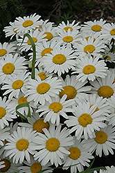 Snow Lady Shasta Daisy (Leucanthemum x superbum 'Snow Lady') at Gardener's Supply Company