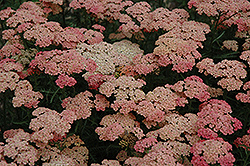 Apricot Delight Yarrow (Achillea millefolium 'Apricot Delight') at Gardener's Supply Company