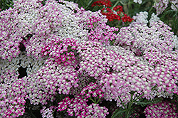 Oertel's Rose Yarrow (Achillea 'Oertel's Rose') at Gardener's Supply Company