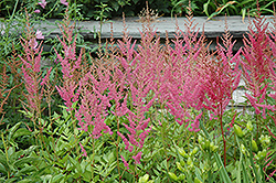 Visions in Pink Chinese Astilbe (Astilbe chinensis 'Visions in Pink') at Gardener's Supply Company