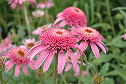 Cone-fections™ Pink Double Delight Coneflower (Echinacea purpurea 'Pink Double Delight') at Gardener's Supply Company