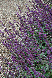 Purple Rain Salvia (Salvia verticillata 'Purple Rain') at Gardener's Supply Company