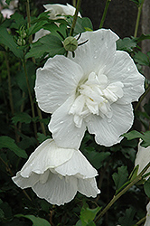 White Chiffon® Rose of Sharon (Hibiscus syriacus 'Notwoodtwo') at Gardener's Supply Company