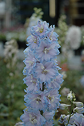 Magic Fountains Sky Blue Larkspur (Delphinium 'Magic Fountains Sky Blue') at Gardener's Supply Company