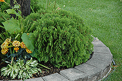Danica Arborvitae (Thuja occidentalis 'Danica') at Gardener's Supply Company