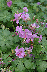 Cambridge Cranesbill (Geranium x cantabrigiense 'Cambridge') at Gardener's Supply Company