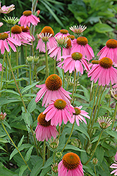 Kim's Knee High Coneflower (Echinacea 'Kim's Knee High') at Gardener's Supply Company