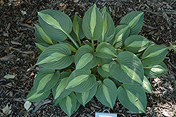 Striptease Hosta (Hosta 'Striptease') at Gardener's Supply Company