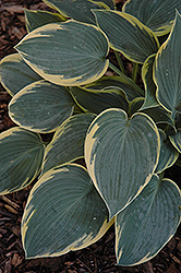 First Frost Hosta (Hosta 'First Frost') at Gardener's Supply Company