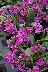 Spring Charm Rock Cress (Arabis 'Spring Charm') at Gardener's Supply Company