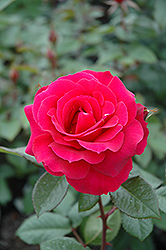 Frankly Scarlet Rose (Rosa 'Frankly Scarlet') at Gardener's Supply Company