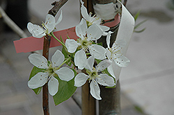 Bosc Pear (Pyrus communis 'Bosc') at Gardener's Supply Company