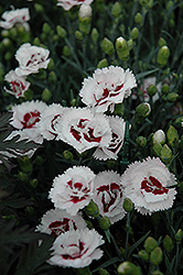Scent First® Coconut Surprise Pinks (Dianthus 'WP05Yves') at Gardener's Supply Company