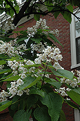 Northern Catalpa (Catalpa speciosa) at Gardener's Supply Company