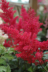 Montgomery Japanese Astilbe (Astilbe japonica 'Montgomery') at Gardener's Supply Company