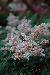 Sugarberry Astilbe (Astilbe 'Sugarberry') at Gardener's Supply Company