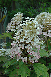 Alice Hydrangea (Hydrangea quercifolia 'Alice') at Gardener's Supply Company