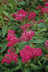Neon Flash Spirea (Spiraea japonica 'Neon Flash') at Gardener's Supply Company