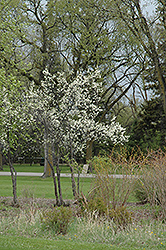 Toka Plum (Prunus 'Toka') at Gardener's Supply Company