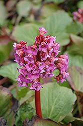 Heartleaf Bergenia (Bergenia cordifolia) at Gardener's Supply Company