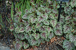 Green Spice Coral Bells (Heuchera 'Green Spice') at Gardener's Supply Company
