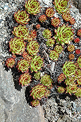 Sunset Hens And Chicks (Sempervivum 'Sunset') at Gardener's Supply Company