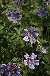 Brookside Cranesbill (Geranium 'Brookside') at Gardener's Supply Company