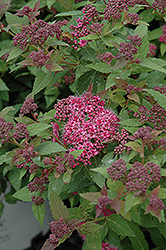Double Play® Artisan® Spirea (Spiraea japonica 'Galen') at Gardener's Supply Company