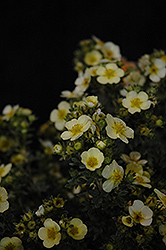 Primrose Beauty Potentilla (Potentilla fruticosa 'Primrose Beauty') at Gardener's Supply Company