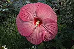 Party Favor Hibiscus (Hibiscus 'Party Favor') at Gardener's Supply Company