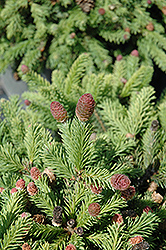 Pusch Spruce (Picea abies 'Pusch') at Gardener's Supply Company