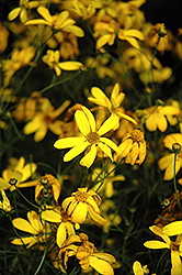 Electric Avenue Tickseed (Coreopsis verticillata 'Electric Avenue') at Gardener's Supply Company