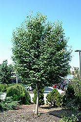 Lustre Allegheny Serviceberry (Amelanchier laevis 'Lustre Allegheny') at Gardener's Supply Company