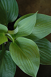 Empress Wu Hosta (Hosta 'Empress Wu') at Gardener's Supply Company