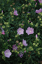 Party Girl Prairie Mallow (Sidalcea 'Party Girl') at Gardener's Supply Company