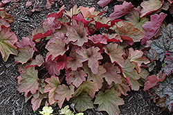 Carnival Watermelon Coral Bells (Heuchera 'Watermelon') at Gardener's Supply Company