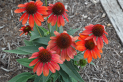 Sombrero® Flamenco Orange Coneflower (Echinacea 'Balsomenco') at Gardener's Supply Company