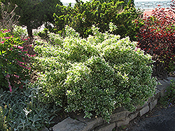 Emerald Gaiety Wintercreeper (Euonymus fortunei 'Emerald Gaiety') at Gardener's Supply Company