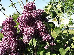 Monge Lilac (Syringa vulgaris 'Monge') at Gardener's Supply Company