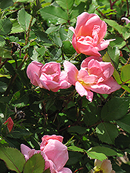 Rainbow Knock Out® Rose (Rosa 'Radcor') at Gardener's Supply Company