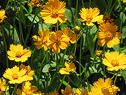 Dwarf Tickseed (Coreopsis auriculata 'Nana') at Gardener's Supply Company