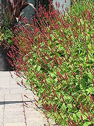 Fire Tail Fleeceflower (Persicaria amplexicaulis 'Fire Tail') at Gardener's Supply Company