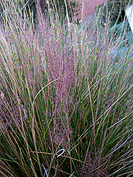 Pink Muhly Grass (Muhlenbergia capillaris 'Pink Muhly') at Gardener's Supply Company
