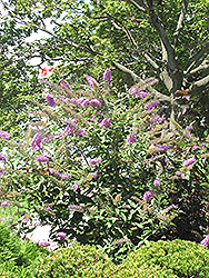 Pink Delight Butterfly Bush (Buddleia davidii 'Pink Delight') at Gardener's Supply Company