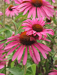 Ruby Star™ Coneflower (Echinacea purpurea 'Rubinstern') at Gardener's Supply Company